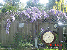 Another view of the Wisteria.